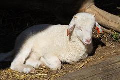 new born lamb - stock photo