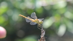 Dragonfly resting on a dry branch Stock Footage