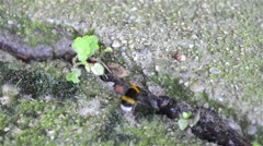 Bumblebee entering his den Stock Footage