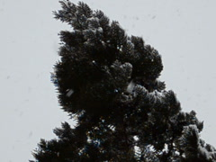 Thuja and snow. Related clips are in my portfolio in 1920x1080. Stock Footage