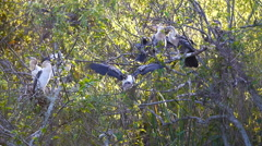Juvenile Anhingas Await Dinner Bell Stock Footage