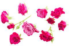 mauve roses - stock photo
