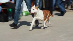 American staffordshire terrier walking with owner on the court. Tracking shot. Stock Footage