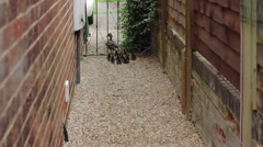 Mother Duck leads Ducklings through Gate and Away Stock Footage