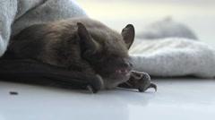Stock Video Footage of Seba's Short-Tailed Bat (Carollia perspicillata)  in rag from cold, 4k