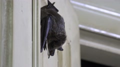 Seba's Short-Tailed Bat (Carollia perspicillata) sits onwall, 4k Stock Footage