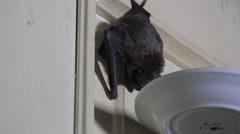 Seba's Short-Tailed Bat (Carollia perspicillata), 4k Stock Footage