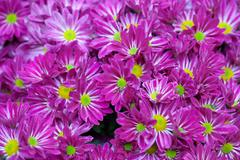 Magenta asters lawn. shallow depth of field. Stock Photos
