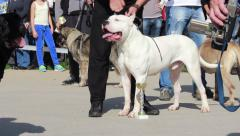 Dogo Argentino standing and posing on the court at the international dog show. Stock Footage