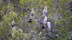 Anhinga Juveniles Play Waiting Game Stock Footage