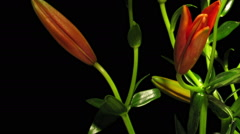 Red Asiatic Lily Time-lapse Stock Footage