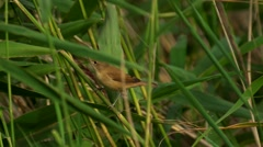 Marsh warbler - Acrocephalus palustris Stock Footage