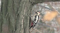 Woodpecker thick branch of acacia, bird, HD Stock Footage