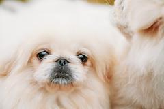 White Pekingese Pekinese Peke Whelp Puppy Dog - stock photo