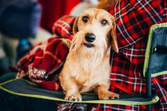Wirehaired Dachshund Sits In Hands Of Mistress. Close Up Dog Por - stock photo