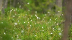 Cotton grass- genus Eriophorum Stock Footage