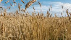 4K Wheat Field Time Lapse Stock Footage