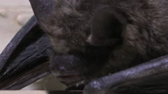 Seba's Short-Tailed Bat (Carollia perspicillata) sits onwall, HD Stock Footage