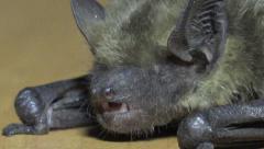 Seba's Short-Tailed Bat (Carollia perspicillata) sits onwall, HD - stock footage