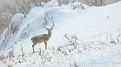 4k portrait of majestic powerful adult red deer stag forest winter snow, uhd Stock Footage
