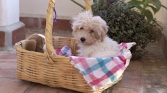 white poodle dog's house - stock footage