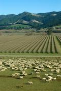 mob of sheep - stock photo