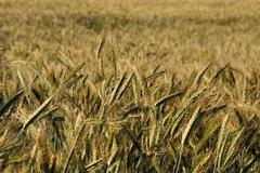 Triticale crop Stock Photos