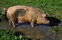 Pigs in mud Kuvituskuvat
