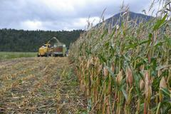 Harvesting maize for silage Stock Photos