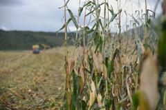 harvesting maize for silage - stock photo