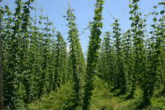 Crop of hops, humulus lupulus Stock Photos