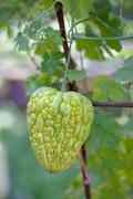 Bitter melon hanging on a vine in garden Stock Photos