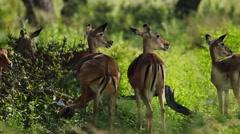 Impalas antelope of botswana - stock footage