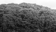 black and white forest trees over the large hills - stock photo