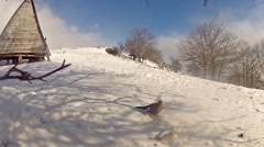Eurasian collared dove (streptopelia decaocto) pecking corn in the snow Stock Footage