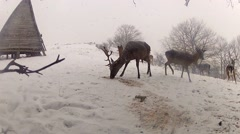 Group of deer in wildlife, winter snow blizzard, male and female red deer Stock Footage