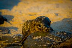 baby sea lion at sunset in galapagos islands - stock photo