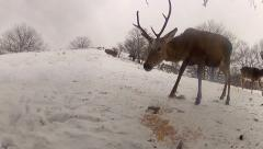 Group of deer feeding on winter snow landscape, hd stock video Stock Footage