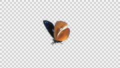 Butterfly - 08 L - Striped Blue Crow - Large - Round Fly Loop - Alpha Stock Footage