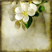 Apple tree blossoming - stock illustration