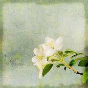 Stock Illustration of Apple tree blossoming