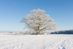 old oak in hoarfrost against the blue sky and the church - stock photo