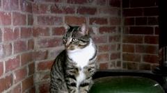 Single tabby cat Stock Footage