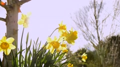 Spring flowers (Daffodils) close up Stock Footage