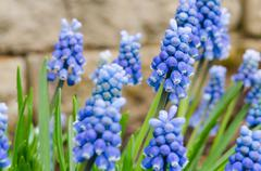blue grape hyacinth isolated on blur background - stock photo