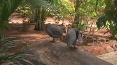 Helmeted guineafowl at Himalayan Park in Himachal Pradesh, India. Stock Footage