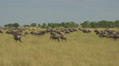 AERIAL: Tourists driving pass large herd of wildebeest migrating Stock Footage
