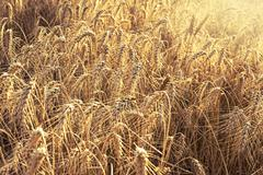 Stock Photo of field of wheat ready to be harvested.