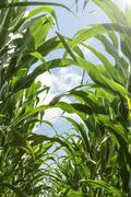 Stock Photo of green corn in agricultural field.