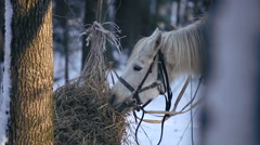 Working horse eating hay in the winter forest Stock Footage